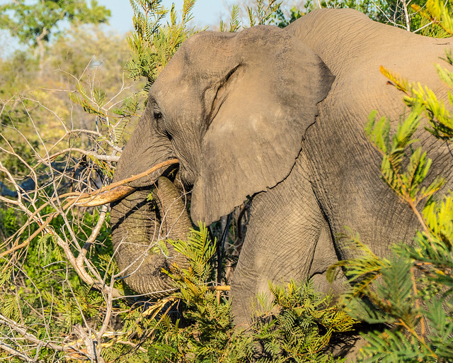 African Elephant 8 of 9