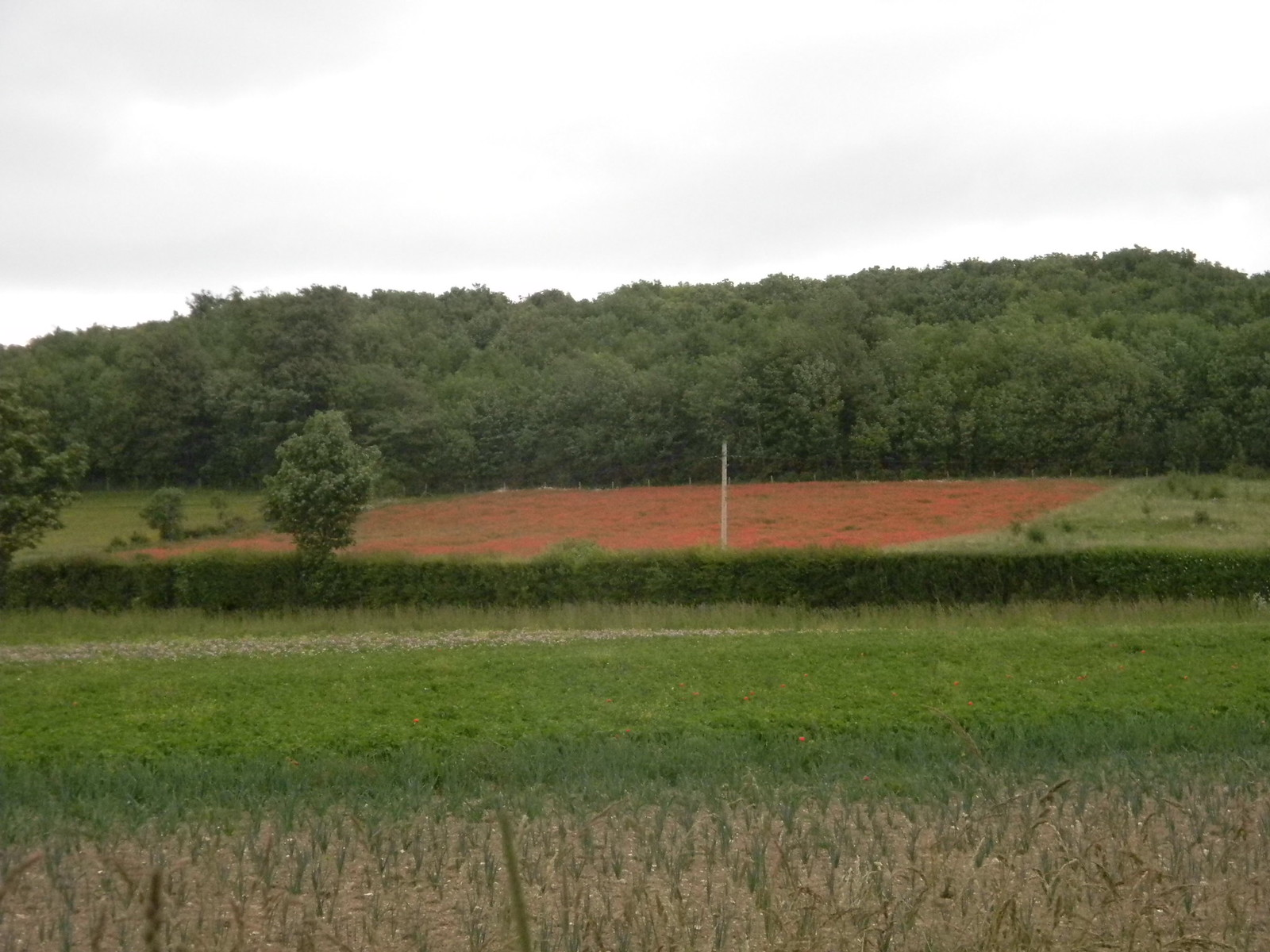 Poppy field Sandling to Wye