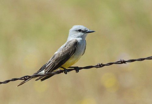 Western Kingbird | by birding4ever