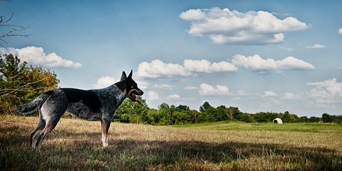 sky dog clouds cattledog sheila heeler acreestudios