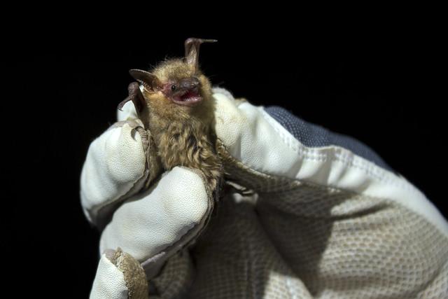 Perimyotis subflavus, Cumberland County, Tennessee