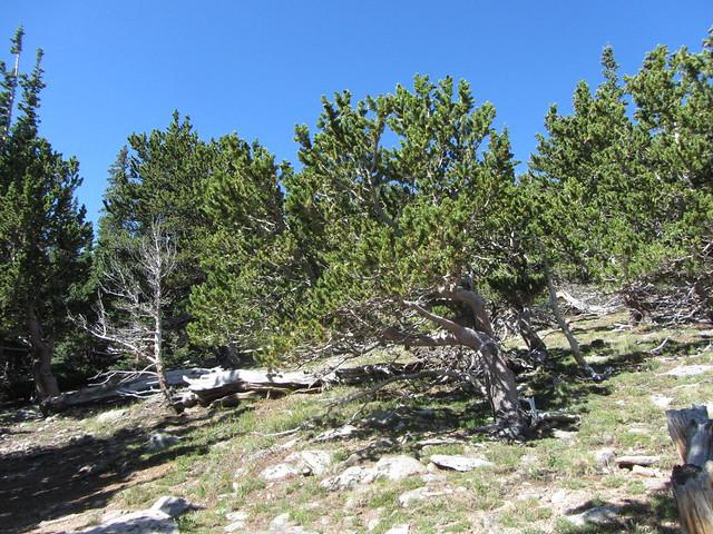Bristlecone Pines at Mt. Goliath