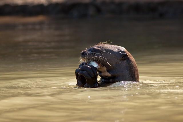 Giant Otter Eating Fish