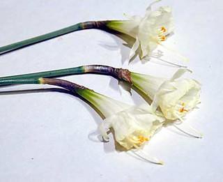 Narcissus bulbocodium × 'Taffeta','Nylon', & 'Jessamy'