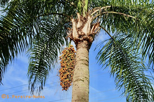 The richness of a coconut tree, Lavinia-SP, Brazil | Flickr