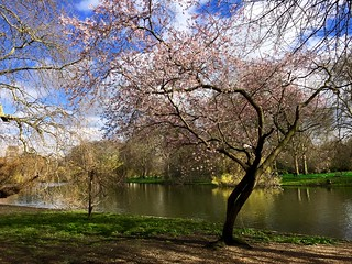2018 St James's Park cherry blossom   by Fran Pickering