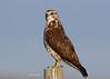 Swainson's hawk by Stoil Ivanov