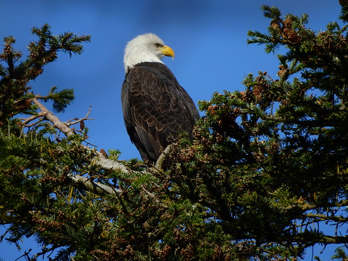 september 28 2016 14:38 - Eagle in The His & Hers Tree | by boonibarb