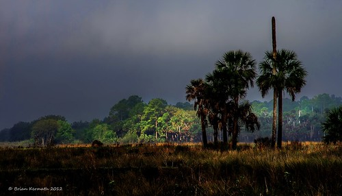 sunrise fog mist centralflorida florida cabbagepalms palms landscapes green dawn morning earlymorning madrugada morningsunlight sunlight sabalpalmetto arecaceae palmtrees trees lakewoodruff lakewoodruffnationalwildliferefuge