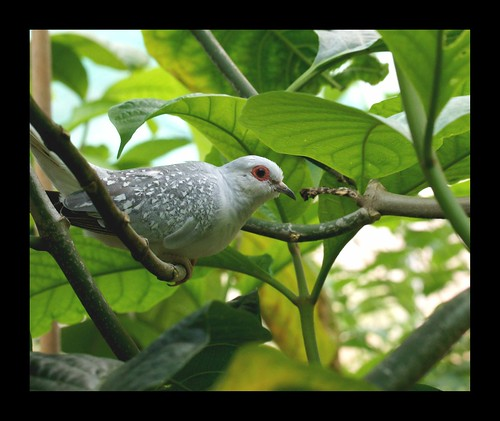 A Diamond Dove Bird | by Annette Rumbelow