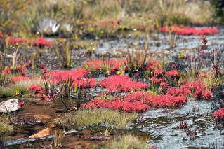 Drosera roraimae, Sundew, Mount Roraima, Canaima National Park, Bolivar, Venezuela | by Brad Wilson, DVM