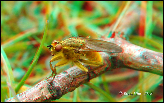 Yellow Dung Fly - 3d anaglyph