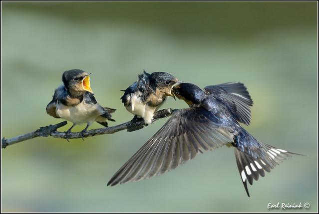 Barn Swallow (20120619-0673)