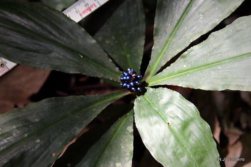 Pollia condensata, fruit