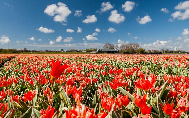 Hollandse Tulips