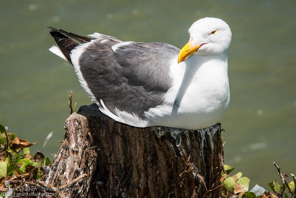 Alcatraz Gull   Seagulls nest all over Alcatraz Island and s