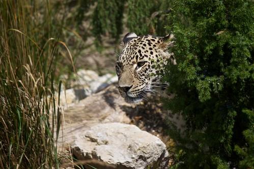 Persian leopard / Nordpersischer Leopard | by Missud