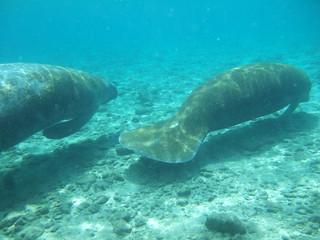 friendly manatees swim by