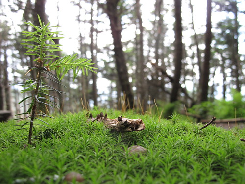 Seedling rising on the floor of the spruce-fir forest | by USFWS/Southeast