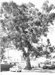 Commercial_Lane_old_gum_tree