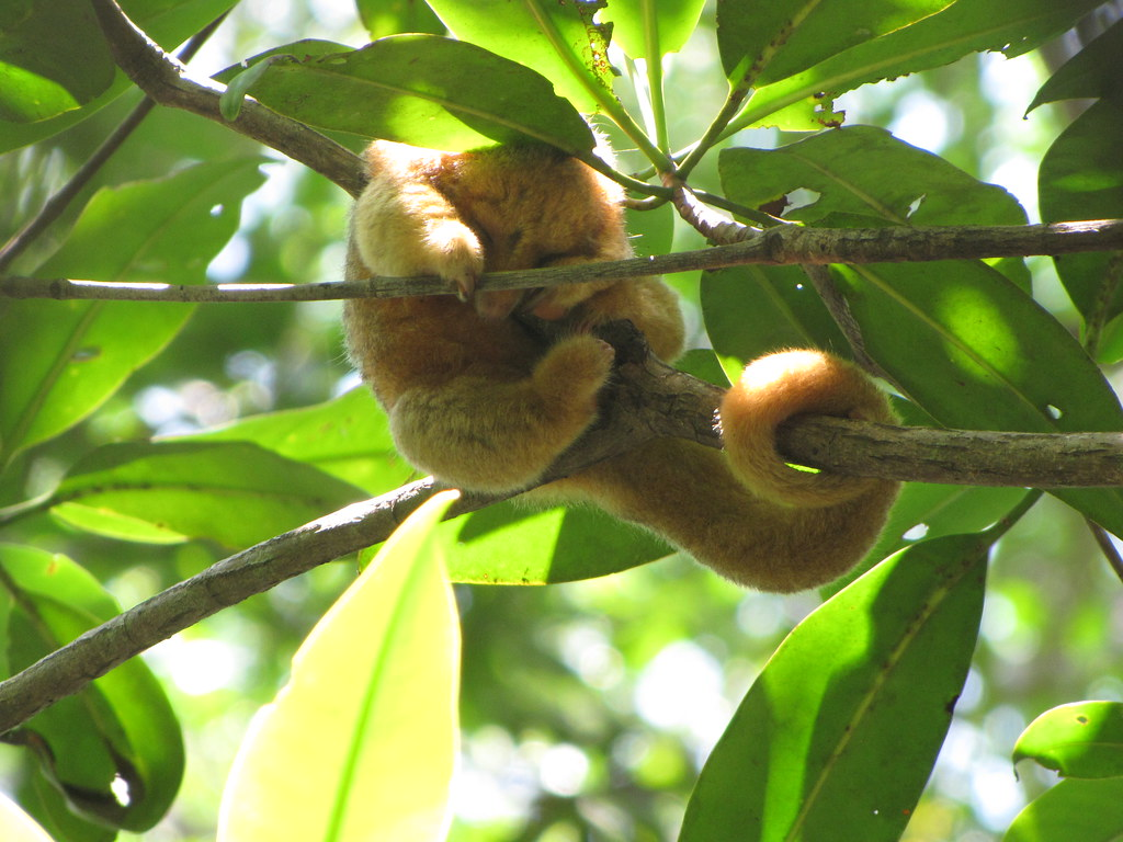 BEHOLD... The Pygmy Anteater!