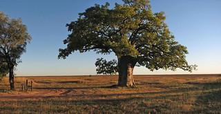 Boab - Dinner Tree, Derby S312599pan | by yaruman5