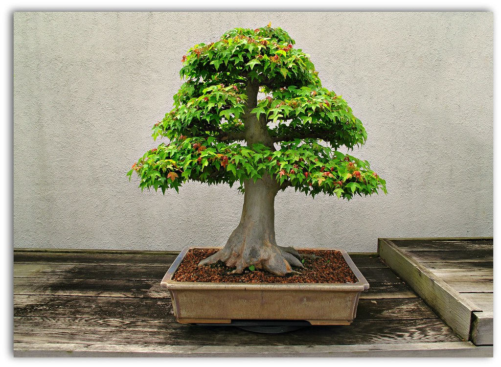 Acer Buergerianum Trident Maple Bonsai In Training Since Flickr