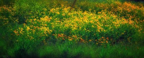 nature austin texas wildflowers project365 colorefexpro gpxtest nikonp7100