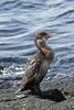 Flightless Cormorant (Phalacrocorax harrisi) by DragonSpeed