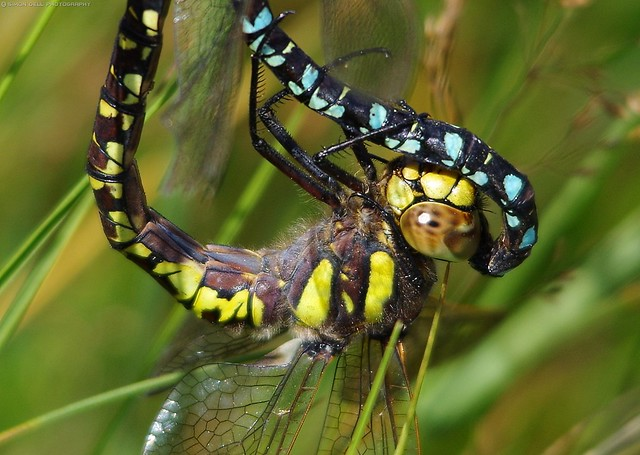dragonflies mating common Hawkers, Aeshna juncea. (1)