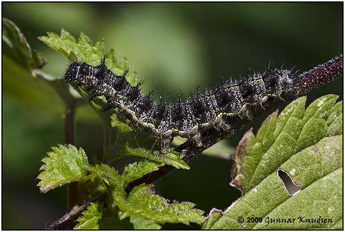 Naeldens-takvinge-larve