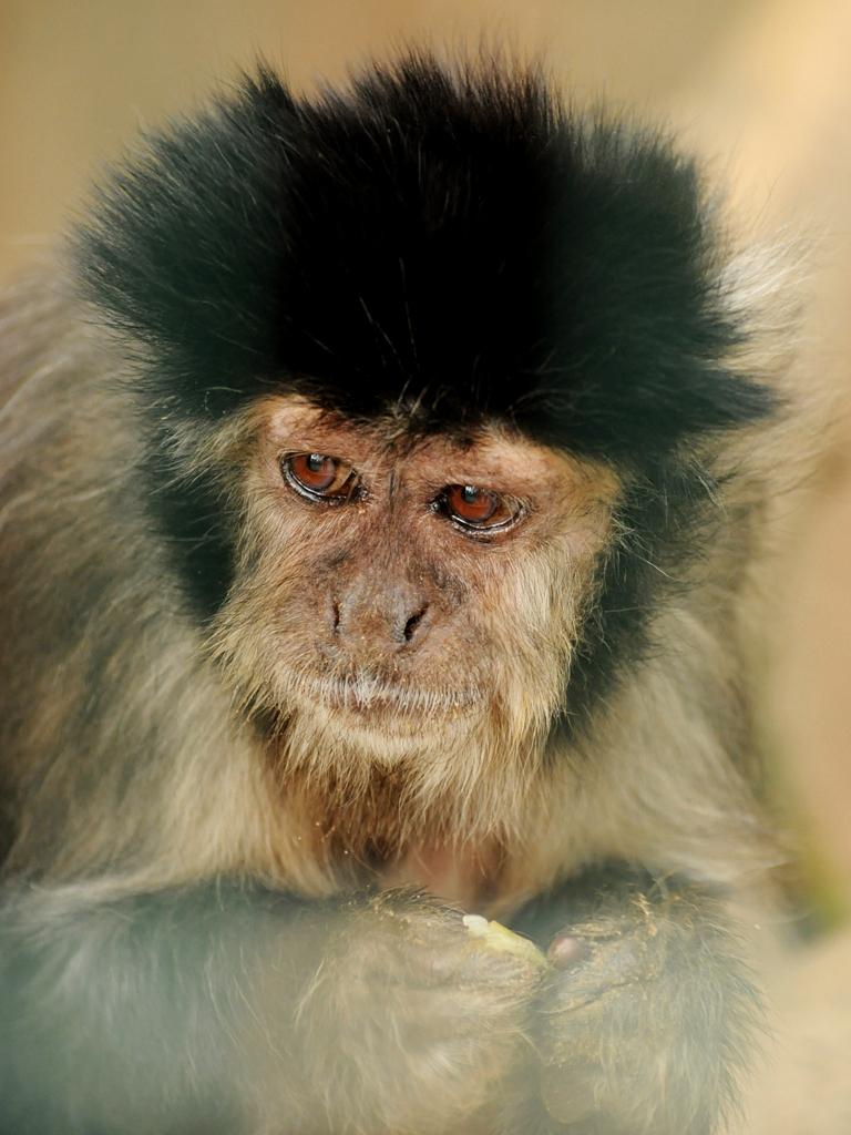 Cebus nigritus - Dunkler Haubenkapuziner - Dark tufted capuchin