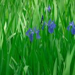 Shrine Iris