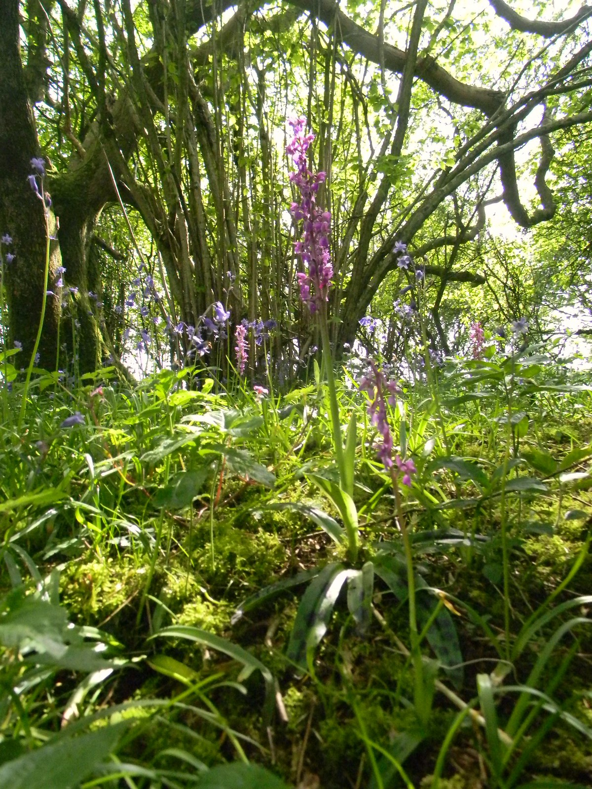 Orchid Descent to Jevington. Berwick to Birling Gap