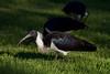 Straw Necked Ibis, Herdsman Lake, Perth, Western Australia by BioGeo2009