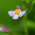 A very tiny wild flower