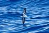 011033-IMG_2797 Black-winged Petrel (Pterodroma nigripennis) by ajmatthehiddenhouse