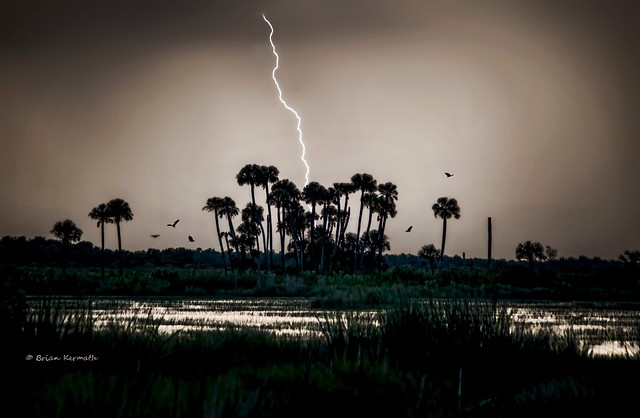 Lightning over cabbage palms (Sabal palmetto) with vultures