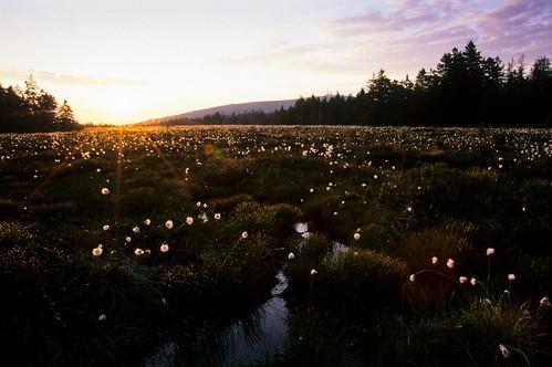 film analog sunrise fuji nikonf100 brocken moor sonnenaufgang harz velvia50 cottongrass wollgras goetheweg hochmoor nationalparkharz