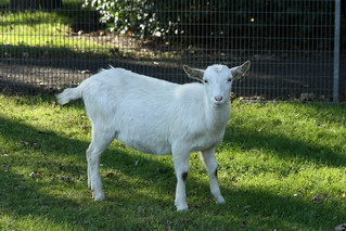 Goat | by -JvL-