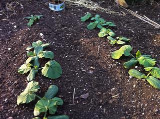 5/30: zucchini sprouts