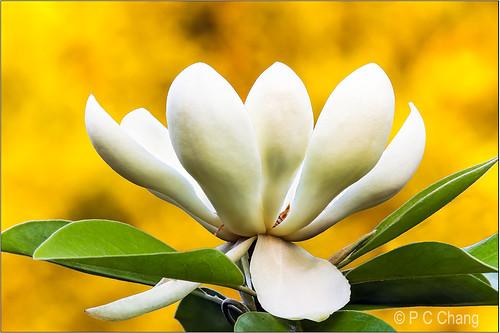 sunset summer white flower green beautiful yellow garden gold flora glow blossom sparkle foliage bloom magnolia goldenhour thegalaxy pcchang ringexcellence flickrstruereflection1 flickrstruereflection2 rememberthatmomentlevel1 rememberthatmomentlevel2 rememberthatmomentlevel3