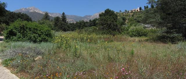 IMG_8204_2 120715 Santa Barbara Botanic Garden meadow yellow flowers ICE rm stitch99