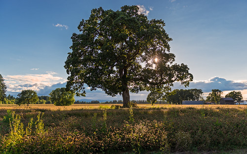 sunset summer tree field june oregon evening oak nikon clover hillsboro goldenhour 2012 d800