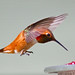 Flickr photo 'Rufus Hummingbird-