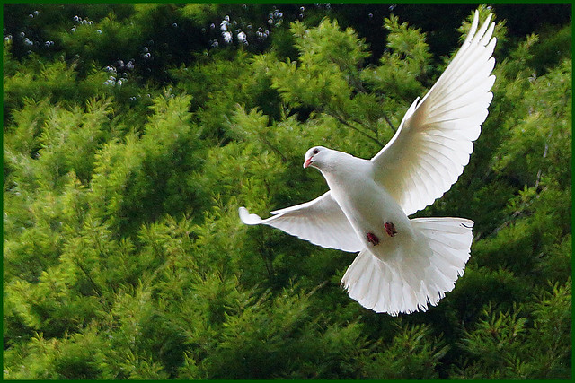 WHITE DOVE   >   colomen wen  EXPLORED