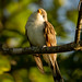 Flickr photo 'Yellow-billed Cuckoo' by: sydphi.