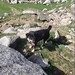 Charlie accompanied us all the way from Triund to the glacier!