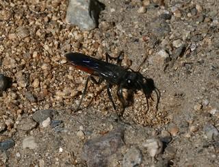 Digger Wasp? | by S. Rae