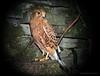Rock Kestrel (Falco rupicolus) by matlacha